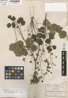 Isotype of Thalictrum pringlei S. Watson [family RANUNCULACEAE]