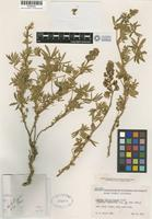 Holotype of Lupinus falsoformosus C. P. Smith [family FABACEAE]