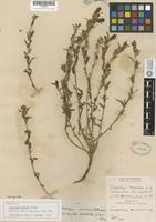 Holotype of Castilleja martinii Abrams [family SCROPHULARIACEAE]