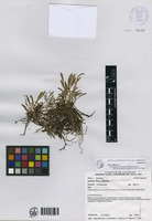 Isotype of Stelis abdita Luer [family ORCHIDACEAE]