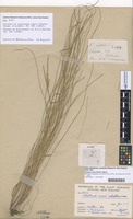 Isotype of Agropyron coxii Petrie [family GRAMINEAE]