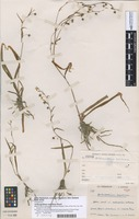 Holotype of Arthropodium bulbosum G.Simpson [family LOMANDRACEAE]