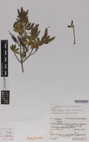 Holotype of Hebe calcicola Bayly & Garn.-Jones [family SCROPHULARIACEAE]