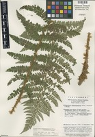 Isotype of Polystichum shennongenense Ching, Boufford & K.H. Shing [family DRYOPTERIDACEAE]