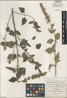 Isolectotype of Salvia molina Fernald [family LAMIACEAE]