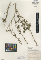 Isotype of Cuphea viscosa Rose in Koehne [family LYTHRACEAE]