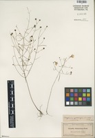 Isotype of Agalinis gattingeri (Small) Pennell [family SCROPHULARIACEAE]