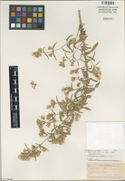 Isotype of Brickellia lemmoni A. Gray [family ASTERACEAE]