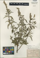 Isotype of Salvia connivens Epling [family LAMIACEAE]