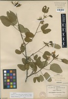 Isotype of Casparia lunarioides A. Gray ex Britton & Rose [family FABACEAE]