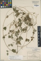 Isotype of Meibomia pinetorum Rose & Painter [family FABACEAE]