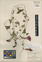 Isotype of Ipomoea oreophila House [family CONVOLVULACEAE]