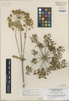 Isotype of Angelica scabrida Clokey & Mathias [family APIACEAE]