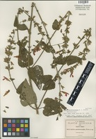 Isotype of Salvia ancistrocarpha Fernald [family LAMIACEAE]