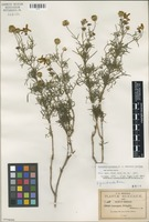 Isotype of Coreopsis pringlei B.L. Rob. [family ASTERACEAE]