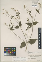 Isotype of Spilanthes ocymifolia forma radiifera H.E. Moore [family ASTERACEAE]