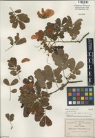Isolectotype of Cassia nelsonii Rose [family FABACEAE]