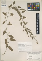 Isotype of Irmischia aristata Rusby [family ASCLEPIADACEAE]