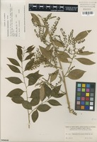 Isolectotype of Agonandra granatensis Rusby [family OPILIACEAE]
