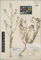 Isotype of Cuphea lozanii Rose in Koehne [family LYTHRACEAE]