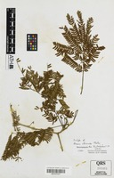 Isotype of Acacia albizioides Pedley [family FABACEAE]