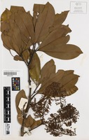 Holotype of Macadamia claudiensis C.L.Gross & B.Hyland [family PROTEACEAE]