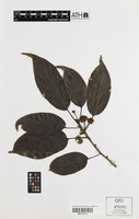 Holotype of Lindera queenslandica B.Hyland [family LAURACEAE]