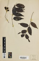 Isotype of Lepiderema ixiocarpa S.T.Reynolds [family SAPINDACEAE]