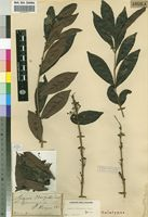 Holotype of Eugenia marquesii Engl. [family MYRTACEAE]