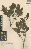 Filed as Pseudolachnostylis dekindtii Pax [family EUPHORBIACEAE]