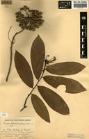 Filed as Uvaria welwitschii (Hiern) Engl. & Diels [family ANNONACEAE]