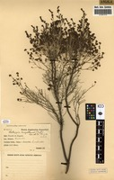 Filed as Philippia benguellensis (Welw. ex Engl.) Britten [family ERICACEAE]
