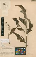 Isotype of Gynura eximia S.Moore [family ASTERACEAE]