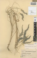 Filed as Enneapogon cenchroides (Licht.) C.E.Hubb. [family POACEAE]