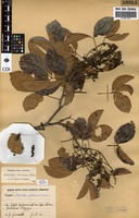 Filed as Allophylus africanus P.Beauv. [family SAPINDACEAE]