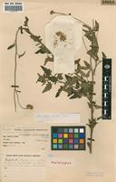 Holotype of Anisopappus discolor Wild [family ASTERACEAE]