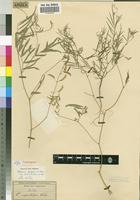 Isotype of Tephrosia capillipes Welw. ex Baker [family FABACEAE]