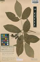 Isotype of Ritchiea fragrans R.Br. [family CAPPARACEAE]