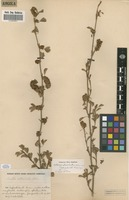 Filed as Kotschya strobilantha (Baker) Dewit & P.A.Duvign. [family FABACEAE]