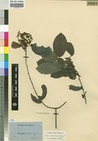 Isotype of Hippocratea apocynoides Welw. ex Oliver [family HIPPOCRATEACEAE]