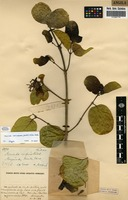 Filed as Morinda morindoides (Baker) Milne-Redh. [family RUBIACEAE]