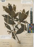 Filed as Hedyosmum racemosum (Ruiz & Pav.) G. Don [family CHLORANTHACEAE]