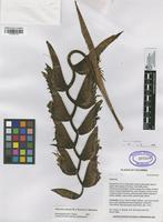 Holotype of Heliconia arrecta W.J. Kress&Betancur [family HELICONIACEAE]