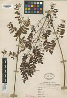 Filed as Osmunda regalis L. [family OSMUNDACEAE]