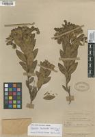 Filed as Ageratina baccharoides (Kunth) R.M. King & H. Rob. [family ASTERACEAE]
