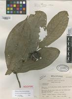 Holotype of Unonopsis sessilicarpa Maas & Westra [family ANNONACEAE]