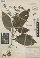 Isotype of Justicia chloanantha Leonard [family ACANTHACEAE]
