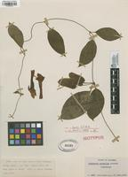 Isotype of Mendoncia mirabilis Leonard [family ACANTHACEAE]