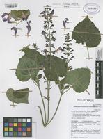 Holotype of Salvia x tunica-mariae Fern. Alonso [family LAMIACEAE]