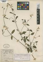 Filed as Mirabilis prostrata (Ruiz & Pav.) Heimerl [family NYCTAGINACEAE]